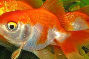 f7578b00312f4e Сонник акваріумні рибки до чого сняться?