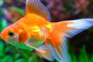 3074354bd37697 Сонник золота рибка до чого сниться?